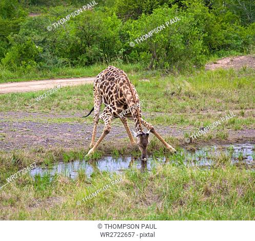 Giraffe drinking from a pool, Giraffa camelopardarlis, Hluhluwe Umfolozi Game Reserve, KwaZulu Natal, South Africa