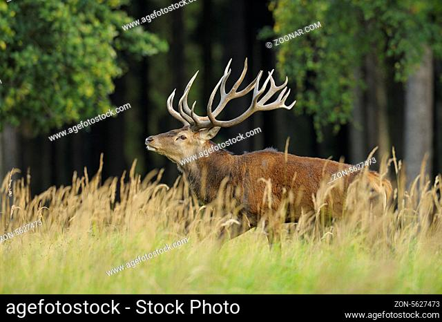 Rothirsch, Cervus elaphus, Deutschland, Red deer, Germany