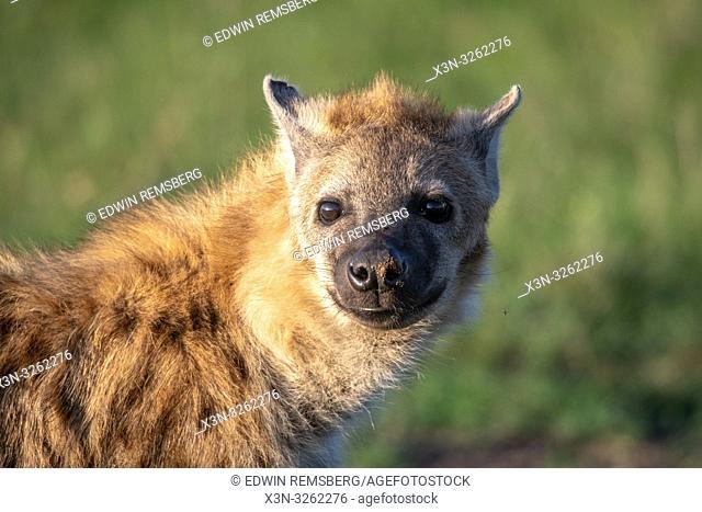 A close up of an Spotted hyena (Crocuta crocuta), also known as the laughing hyena Maasai Mara National Reserve,Kenya,