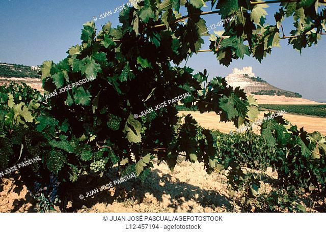 Vineyards, Ribera del Duero. Peñafiel, Valladolid province. Castilla-León, Spain