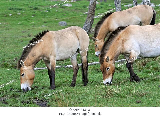 Mongolian Wild Horse - Przewalskiıs horse Equus przewalskii - Cairngorms National Park, Highland Wildlife Park, Kingussie, Highland, Scotland, Great Britain