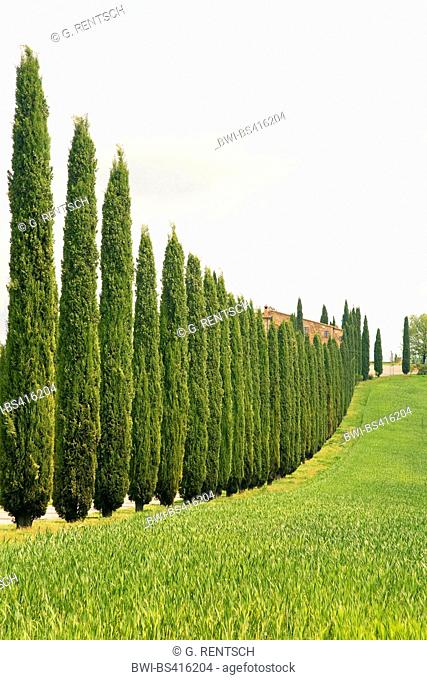 Italian cypress (Cupressus sempervirens), cypress alley near Castiglione d¦Orcia, Italy, Tuscany