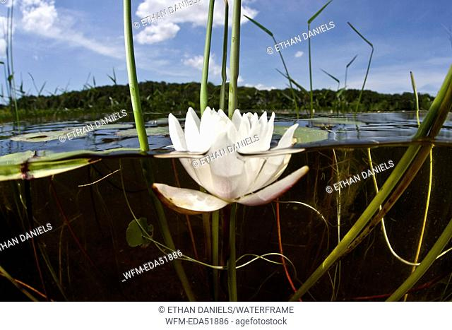 Water Lily, Nymphaea, Massachusetts, Cape Cod, USA