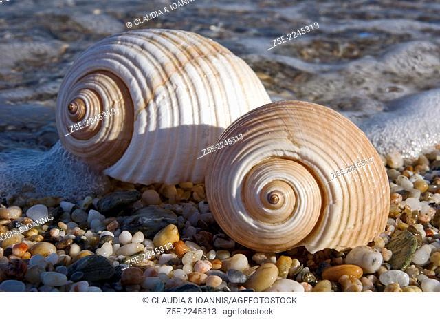 Two giant tun shells on beach