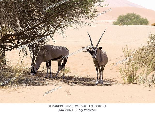 A pair of oryxes (Oryx gazella), Namib desert near Soussuvlei, Namib-Naukluft National Park, Namibia