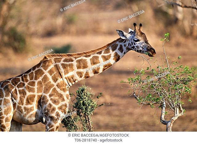 Rothschild's giraffe (Giraffa camelopardalis rothschildi) feeding on acacia tree in Murchisson Falls National Park, Uganda