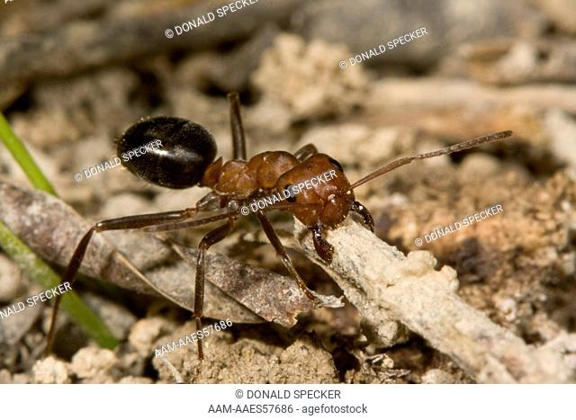 Allegheny Mound Ant Carrying Twig For Mound Repair Formica Exsectoides Ithaca Ny Stock Photo Picture And Rights Managed Image Pic Aam Aaes57686 Agefotostock