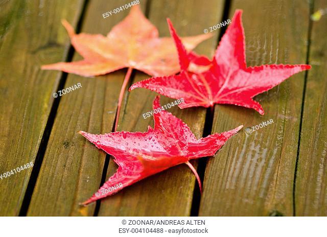 Red platanus leaves