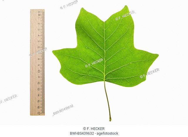 tulip tree (Liriodendron tulipifera), single leaf, underside, cutout, with ruler