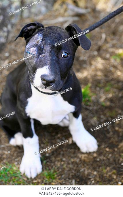 Injured shelter dog awaiting adoption; Glenwood Springs, Colorado, United States of America