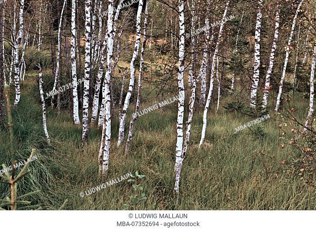 Austria, Salzburger Land, Pinzgau, Mittersill, moor birches in Wasenmoos at Pass Thurn