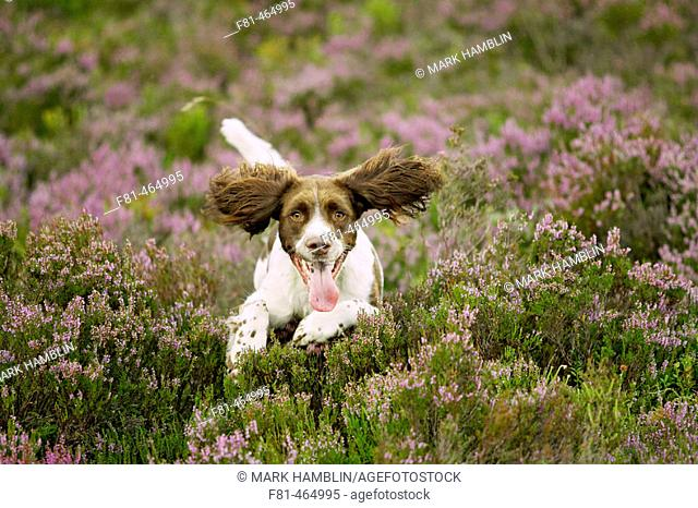 English Springer Spaniel dog running across heather moor in late summer. Scotland