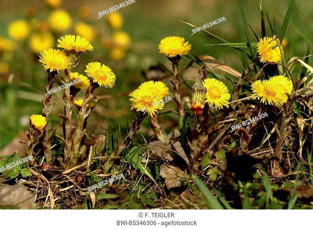 colt's-foot, coltsfoot (Tussilago farfara), blooming, Germany