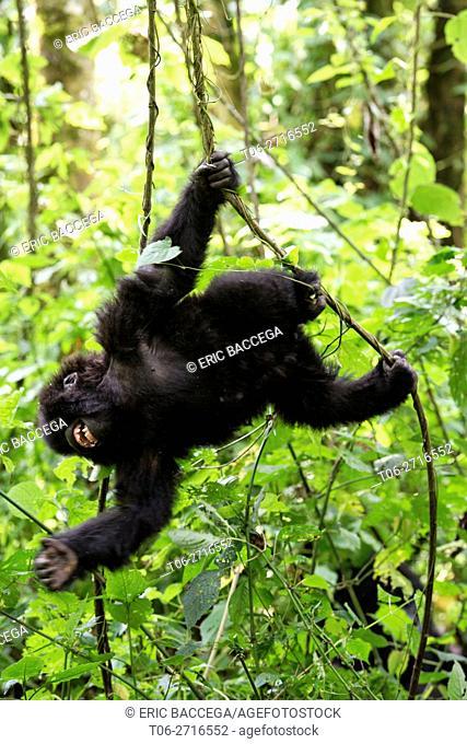Young Mountain gorilla swinging on liana and smiling in forest (Gorilla beringei beringei) Virunga National Park, Democratic Republic of Congo, Africa