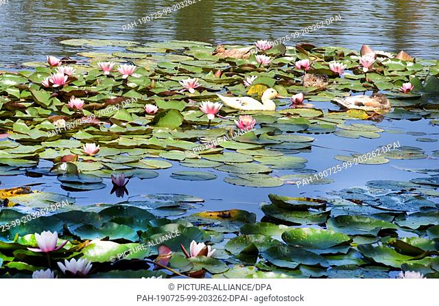 23 July 2019, Saxony-Anhalt, Wörlitz: In the Wörlitzer Park ducks swim on the Great Lake between water lilies. The Wörlitz Park was created by Prince Leopold...