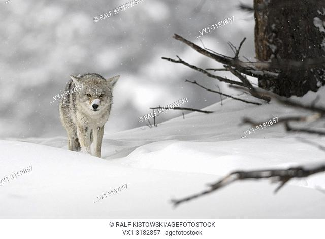Coyote ( Canis latrans ), in winter, walking through deep snow, coming closer, direct eye contact, looks angry but funny, Wyoming, USA.