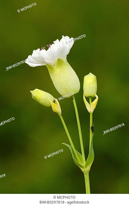 Silene maritima (Silene maritima 'Weisskehlchen', Silene maritima Weisskehlchen), blooming