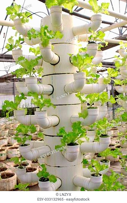 soilless cultivation of lettuce in a greenhouse, north china
