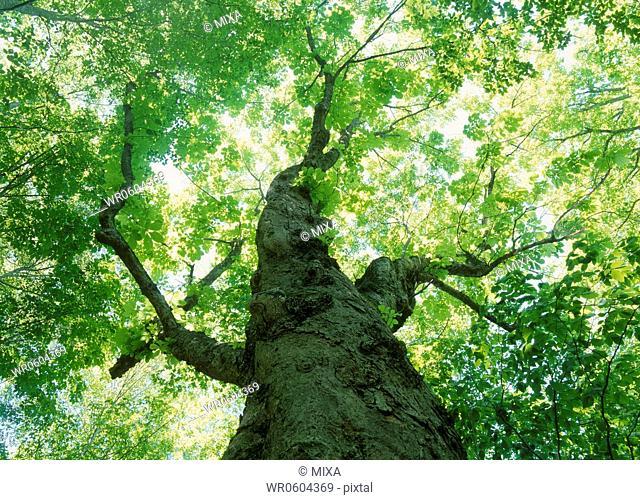 Big Tree, Towada, Aomori, Japan