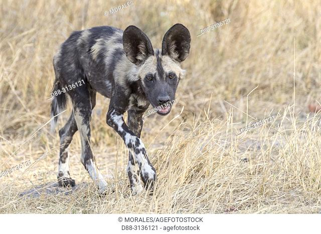 Africa, Southern Africa, Bostwana, Moremi National Park, African wild dog or African hunting dog or African painted dog (Lycaon pictus), one young animal