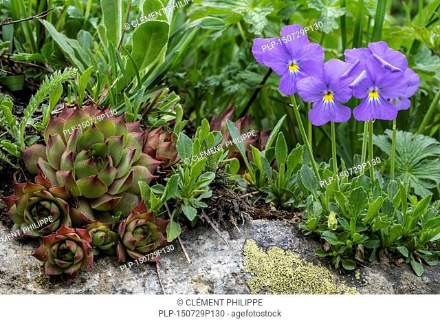 Common houseleek (Sempervivum tectorum) and long-spurred violet / mountain violets (Viola calcarata) in flower in the Alps