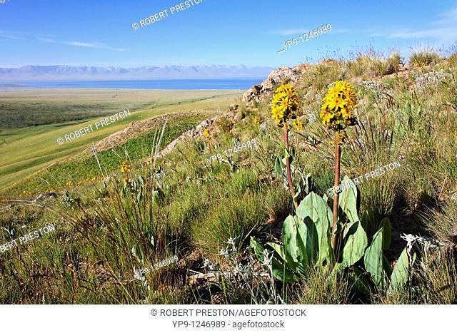 Kyrgyzstan - Lake Song Kul - summer flowers beside Lake Song Kul