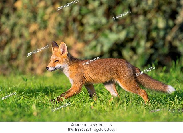 red fox (Vulpes vulpes), young fox ranging through its home range, Germany, Lower Saxony