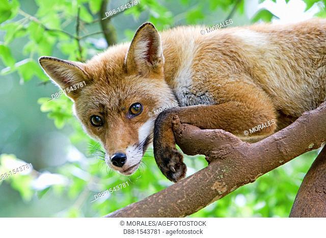 Red Fox (Vulpes vulpes) in a tree, Lot, France