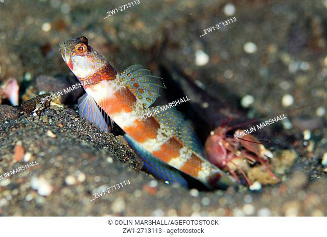 Blotchy Shrimpgoby (Amblyeleotris periophthalma) with Snapping Shrimp (Alpheus sp. ) in hole on black sand, Bulakan dive site, Seraya, Bali, Indonesia