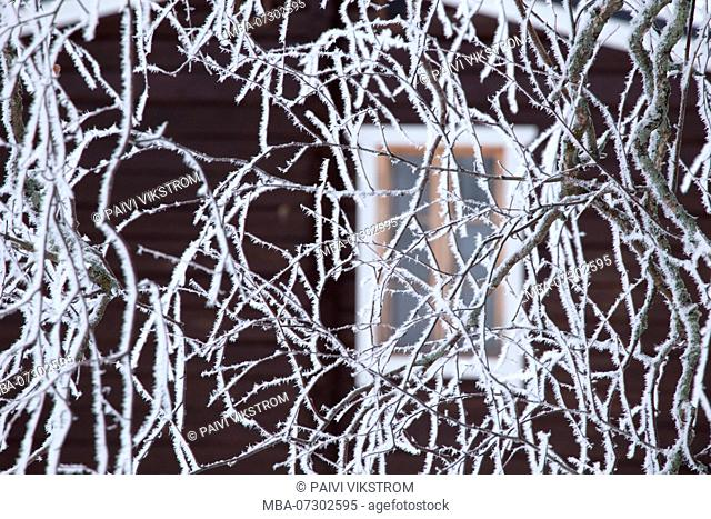 Frozen birch branches covered with white hoarfrost, blurred cottage wall with window background