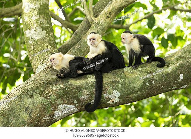 Family of white-headed capuchin. Cebus capucinus. Manuel Antonio National Park. Costa Rica