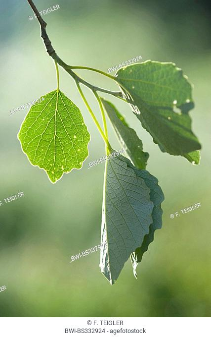 white poplar, silver-leaved poplar, abele (Populus alba), leaves on a tree, Germany
