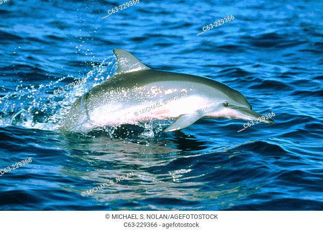 Juvenile Hawaiian Spinner Dolphin (Stenella longirostris) leaping in the Auau Channel. Maui. Hawai
