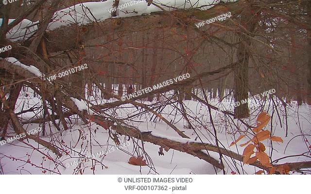 Man walking in snowy woods