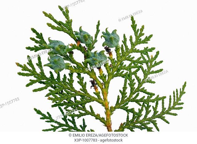 Northern white cedar or arborvitae Thuja occidentalis