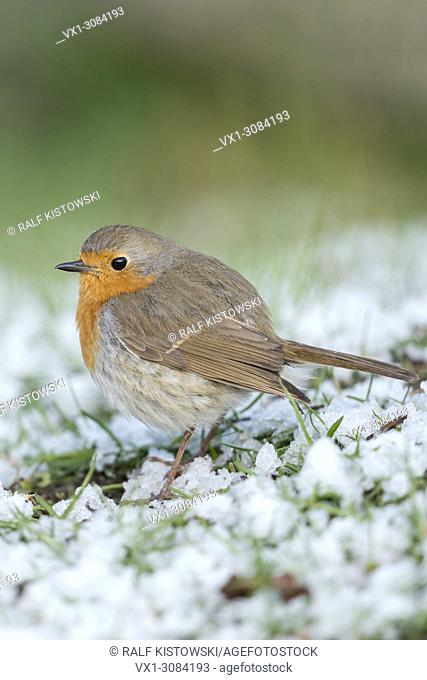 Robin Redbreast ( Erithacus rubecula ), fluffy, sitting on the ground, rests of snow, late onset of winter, side view, wildlife, Europe