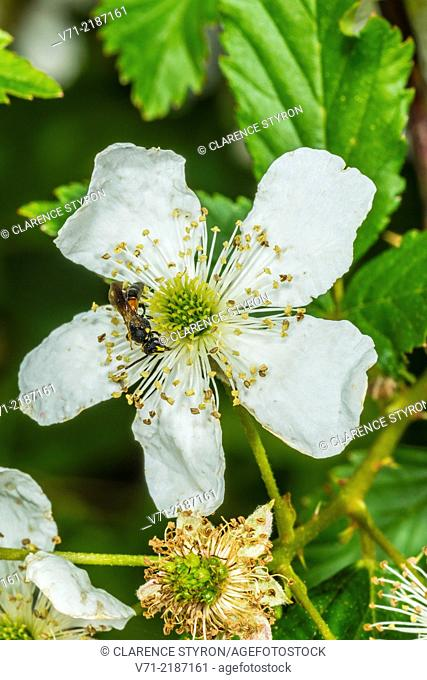 Sweat Bee ( Halictus sp.) on Running Raspberry (Rubus sp.)