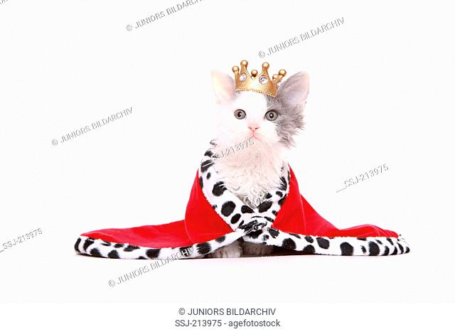Selkirk Rex. Kitten in kings dress, sitting. Studio picture against a white background. Germany