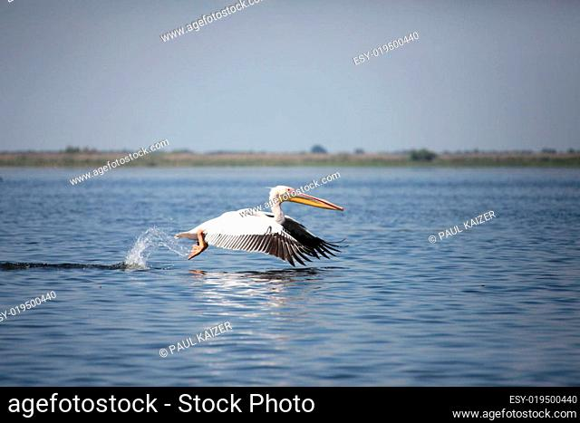 Donaudelta - 2009 - Pelikan