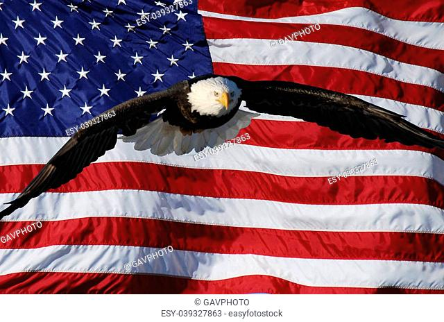Bald Eagle flying in front of American Flag