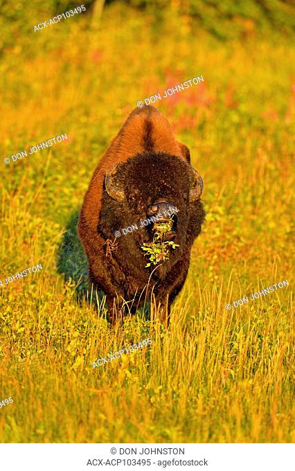 American bison Wood buffalo (Bison bison), Fort Providence, Northwest Territories, Canada