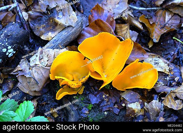 Aleuria aurantia mushroom (Macrolepiota procera) in a beechwood. Urbasa-Andia Natural Park. Navarre, Spain, Europe