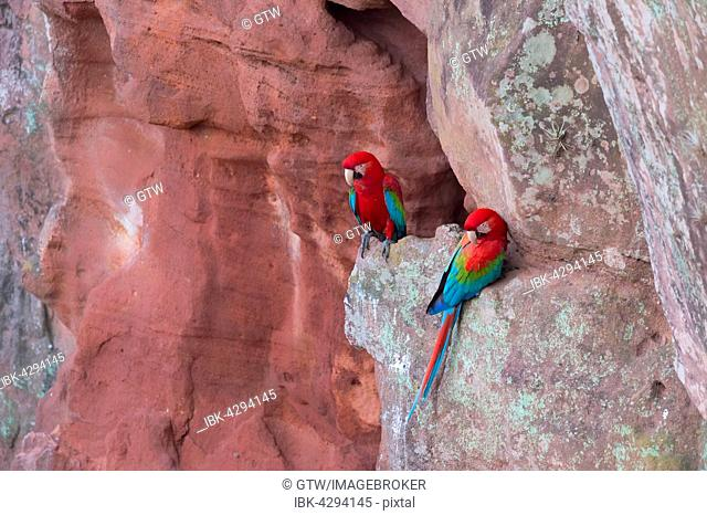 Green-winged Macaws or Red-and-green Macaws (Ara chloropterus), resting on cliff, Buraco das Araras, Mato Grosso do Sul, Brazil