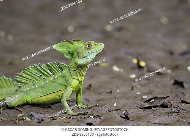 Green Basilisk (Basiliscus plumifrons) portrait. Puerto Viejo river. Heredia province. Costa Rica