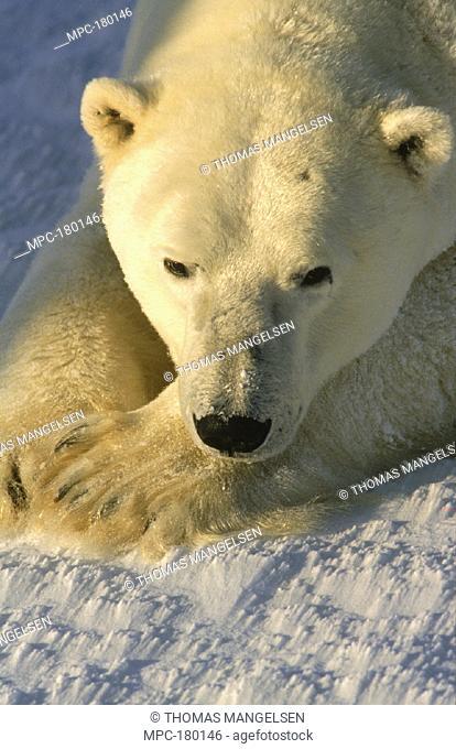 POLAR BEAR (Ursus maritimus) ADULT RESTING, WAPUSK NATIONAL PARK, CHURCHILL, MANITOBA, CANADA