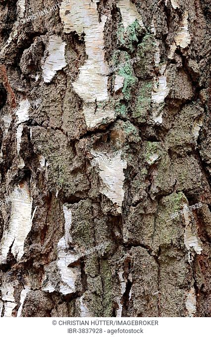 Silver Birch (Betula pendula), bark, North Rhine-Westphalia, Germany