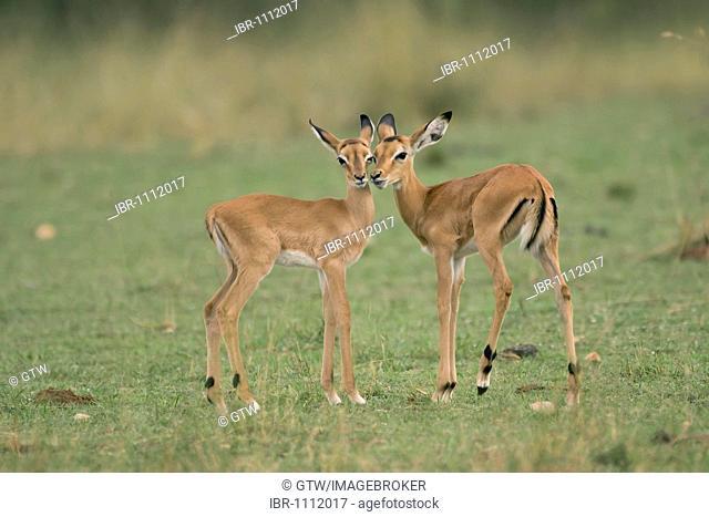 Baby Impalas (Aepyceros melampus), Nakuru National Park, Kenya, East Africa
