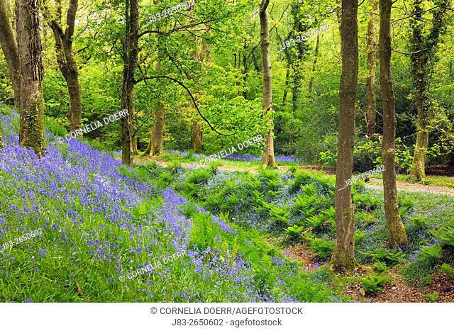 Carpet of Bluebells in Forest (Hyacinthoides non-scripta) in the spring, Seaton , Devon, England, Great Britan