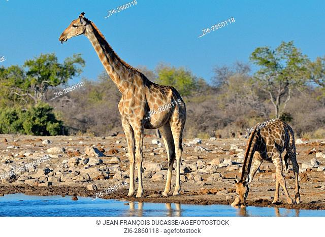 Namibian giraffes or Angolan giraffes (Giraffa camelopardalis), mother with young drinking at waterhole, Etosha National Park, Namibia, Africa