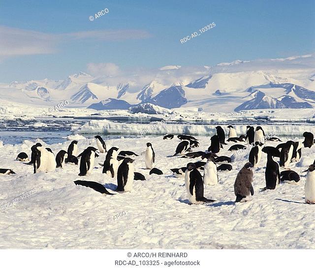 Adelie Penguins Pygoscelis adeliae